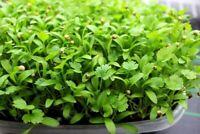 Coriander Microgreens Herb Seeds (1500 seeds) Herb Coriander Seeds herbcilantro