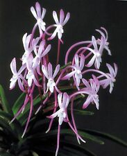 Neofinetia falcata/red flower/popular/in twp spike(japaneseorchid)-SHUTENNOU 朱天王