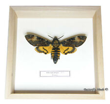 REAL MOUNTED FRAMED BUTTERFLY - Acherontia atropos, male - DEATH'S HEAD MOTH