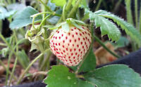 ORGANIC STRAWBERRY/PINEBERRY  PLANTS - BARE ROOT - 12 COUNT  GROWN IN THE U.S.A.