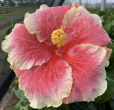 *Tahitian Ursulla'S Gift* Rooted Tropical Exotic Hibiscus Plant*Ships In Pot*