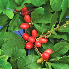MIRACLE FRUIT @@ Synsepalum dulcificum rare tropical exotic berry edible 4 SEEDS