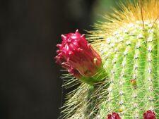 NEOBUXBAUMIA POLYLOPHA syn. CARNEGIEA polylopha 15 semillas 15 seeds Cactus