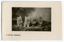 c 1908 British Cute Fluffy Cats A Trying Moment Kitten antique photo postcard