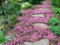 10,000 Creeping THYME Herb Thymus Serpyllum Groundcover Heirloom Flower Seeds 2g