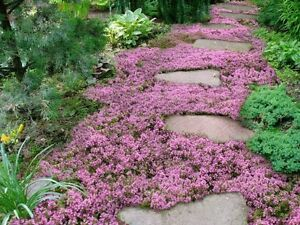 10,000 Creeping THYME Herb Thymus Serpyllum Groundcover Heirloom Flower Seeds 2g