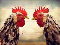 ROOSTERS BIRDS CHICKEN FARM CLOSE UP PHOTO ART PRINT POSTER PICTURE BMP1649B