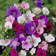 Fairy Flower Seeds Geranium Hardy Mixed x20 seeds Hardy perennial