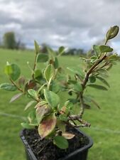 Cotoneaster lacteus FREE DELIVERY ON 5 OR MORE OF ANY PLANTS