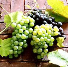 1 Pack 50 Mixed Grape Seeds Vitis Vinifera Vine Fresh Fruit Organic S019