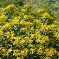 Sedum hybridum 'Czar's Gold' / Hardy perennial / 200 Seeds