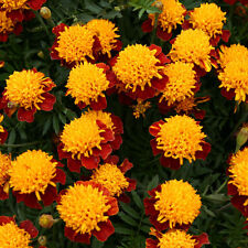 Marigold French - Solan - 100 Seeds