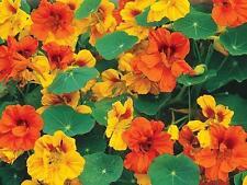 Nasturtium LOW *Tropaeolum majus nanum* Mix Flower Seeds