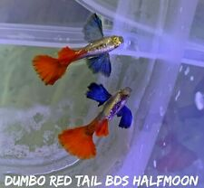 1 Pair - Dumbo Rose Red Tail - Live Aquarium Guppy Fish - High Quality Premium A