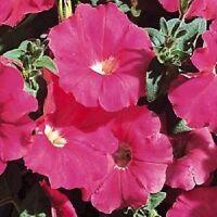 50 Pelleted Petunia Seeds Carpet Rose FLOWER SEEDS