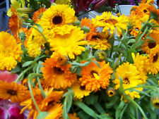 calendula, EDIBLE FLOWER, reseeds, 80 seeds! GroCo