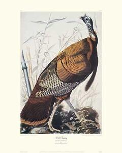 Wild Turkey by John James Audubon Canvas Giclee