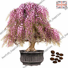 RARO ROSA/blanco Wisteria Floribunda Bonsái Árbol floración planta -10