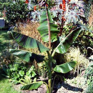 Musa Sikkimensis Red Tiger Bananenpflanze mit essbaren Früchten Winterhart .
