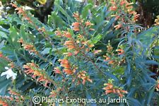 Cuphea melvillea - rare - rustique - 1 plant en godet