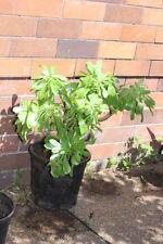 Aeonium Evergreen Cactus & Succulent Plants