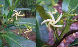 Tabernaemontana alba - Toad Tree - 10 Seeds