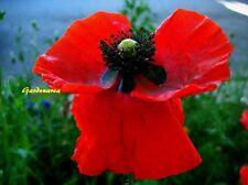 7000 Graines Coquelicot Rouge 'Papaver rhoeas' Flanders poppy seeds
