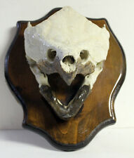 GIANT ALLIGATOR SNAPPING TURTLE SKULL Mounted TAXIDERMY Animal Skeleton Bone vtg