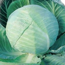 Cabbage seeds Amager Vegetable Seeds from Ukraine Late