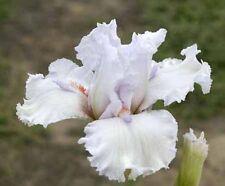 Tall Bearded Iris - SILVER CITY