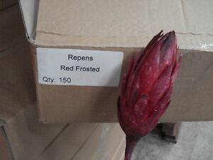 150  Protea Repens rot gefrostet Großhandel Sparpack Südafrika Deko Exoten
