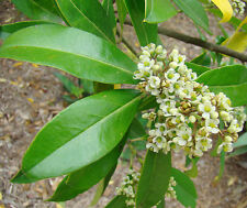 Ilex paraguariensis Yerba Mate Caffeine Tea Coffee Substitute - 10 seeds
