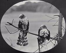 STUNNING Glass Magic Lantern Slide PAIR OF SPARROW HAWKS C1890 PHOTO BIRDS