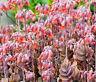 Kalanchoe Bryophyllum Daigremontianum Mother of Thousands - Mexican Hat Plant