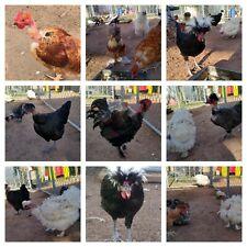 ~ Fun & Funky Fun ~ 10+ Fresh & Fertile Chicken Hatching Eggs! <3
