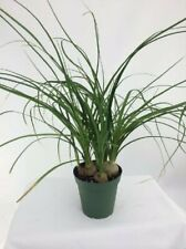 Live Ponytail Palm aka Beaucarnea recurvata Foliage Plant Fit 1Qrt Pot