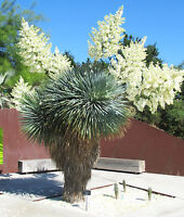 YUCCA ROSTRATA, rare beaked Big Bend agave garden aloe tree like seed 15 SEEDS