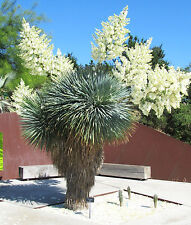 Rare Beaked Yucca exotic yuca rostrata Big Bend agave garden aloe seed 15 Seeds