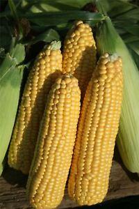 Vegetable - Sweetcorn - Earlibird F1 - 50 Seeds