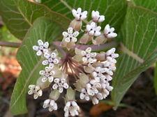 20 White Worled Milkweed Asclepias Flower Seeds + Gift