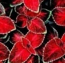 Coleus-Asistente De Terciopelo Rojo - 50 Semillas