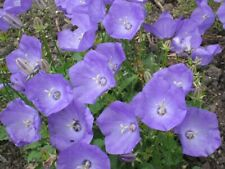 Campanula Pearl Deep Blue Seed x 30 Good Border Rock Garden Blue Cut Flower