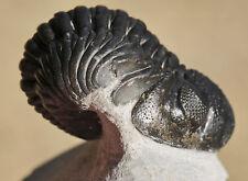 Trilobite Fossil, Pedinopariops vagabundus, from Morocco