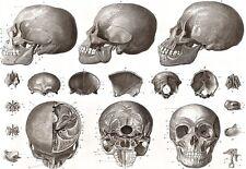 ART POSTER Os De La Tête crâne Medical anatomie Imprimer