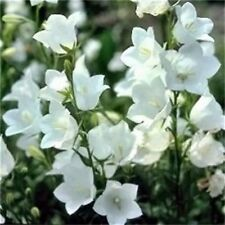 Bellflower (Campanula Persicifolia) White - 100 Seeds