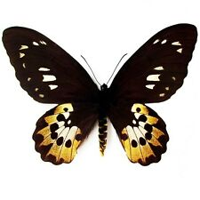 One Real Butterfly Ornithoptera Rothschildi Birdwing Female Wings Closed