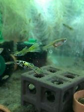 1 Breeding Pair (1 male +1 female) Prolific Tiger Endler Livebearer Guppy (+fry)