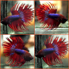 New listing Live Betta Fish Navy Blue Devil Super Red Double Rays Crowntail Ct Male C215