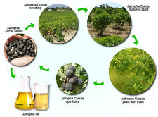 JATROPHA CURCAS, 5 SEMI   (Bio Combustibile - Bio Diesel - Bio Massa)