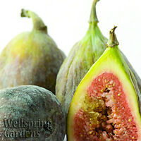 Brown Turkey Fig Fruit Tree Ficus carica LIVE PLANT Hardy California San Pedro